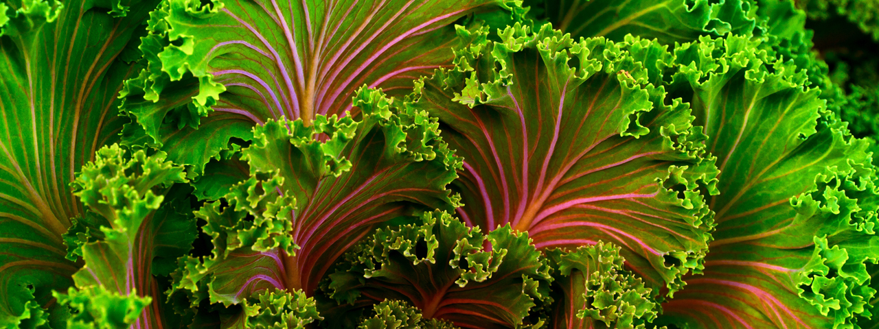 Green kale with pink nerves, a source of minerals like calcium, one of the essential nutritionals we offer in Food Minerals.